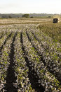 Cotton harvest sao paulo brazil may a field is being picked during the fall Royalty Free Stock Photos