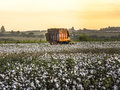 Cotton harvest sao paulo brazil may a field is being picked during the fall Stock Photography