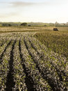 Cotton harvest sao paulo brazil may a field is being picked during the fall Royalty Free Stock Photo