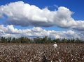 cotton pickin Fotografia Stock