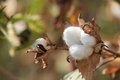 Cotton plant Royalty Free Stock Photo