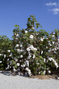 Cotton Plant Royalty Free Stock Photos