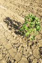 Cotton plant in field on sun light Royalty Free Stock Photo