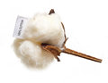 Cotton plant flower with tag label on white background Royalty Free Stock Image
