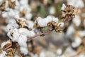 Cotton Plant Ready to Harvest Royalty Free Stock Photo