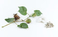 Cotton plant and seed Stock Images