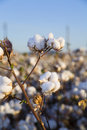 Cotton ready for picking Royalty Free Stock Image