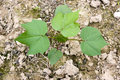 Cotton seedling Stock Photography
