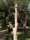 COTTON SILK TREE /CEIBA PENTANDRA/BOMBAX CEIBA