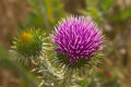 Cotton Thistle in Bloom Royalty Free Stock Photo