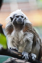 Cotton-top tamarin Stock Photos