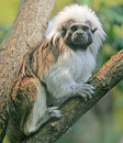 Cotton-top Tamarin 5 Stock Photos