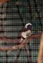Cotton-top Tamarin Monkey Call...