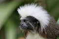 Cotton top tamarin profile of a Royalty Free Stock Photos