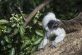 Cotton Top Tamarin Saguinus Oedipus lain on tree branch in sunli Royalty Free Stock Photo