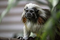 Cotton top tamarin tiny also known as the pinché Stock Photography