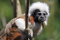 Cotton top tamarin on the tree Royalty Free Stock Photo