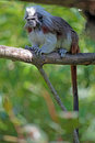 Cotton-top tamarin on a tree Royalty Free Stock Photo