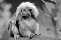 Cotton-Topped Tamarin Royalty Free Stock Photo