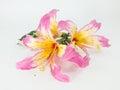 Cotton tree flower flowers on white background Stock Photo