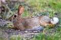 Cottontail bunny rabbit Royalty Free Stock Photography