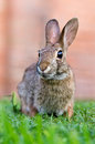 Cottontail bunny rabbit Royalty Free Stock Photos