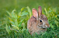 Cottontail bunny rabbit eating grass Royalty Free Stock Image