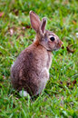 Cottontail bunny rabbit in the garden Royalty Free Stock Photography