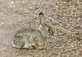 Cottontail Rabbit #6 Royalty Free Stock Photo