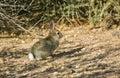 Cottontail Rabbit #6