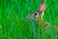 Cottontail Rabbit in the grass Royalty Free Stock Photography