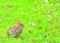 Cottontail rabbit sitting on a footpath looking into the woods Stock Photos