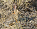 Cottontail rabbit sylvilagus floridanus the thrives in the arid dry western desert and its color enables it to hide Royalty Free Stock Photography
