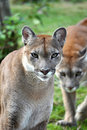 The cougar Royalty Free Stock Photo