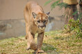 Cougar also known as puma Royalty Free Stock Photo