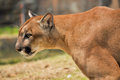 Cougar also known as puma Royalty Free Stock Photography