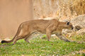 Cougar also known as puma Royalty Free Stock Image
