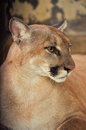 Cougar also known as puma Stock Images