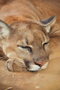 Cougar also known as puma Royalty Free Stock Images