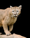 Cougar is on a branch against a dark background Stock Photo