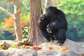 Cougar cub chimps are generally fruit and plant eaters Stock Photo