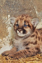 Cougar cub when cougars are born they have spots but they lose them as they grow and by the age of years they will completely be Stock Photo