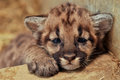 Cougar cub when cougars are born they have spots but they lose them as they grow and by the age of years they will completely be Stock Image