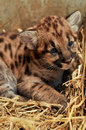 Cougar cub when cougars are born they have spots but they lose them as they grow and by the age of years they will completely be Stock Photos