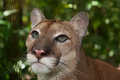 Cougar Eyes Royalty Free Stock Photo