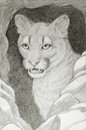 Cougar face portrait hand drawing of in the hole Royalty Free Stock Photography