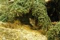 Cougar hiding