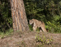 Cougar on the Lookout Stock Image