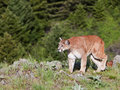 Cougar Puma concolor Royalty Free Stock Photography