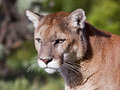 Cougar Puma concolor portrait Stock Images